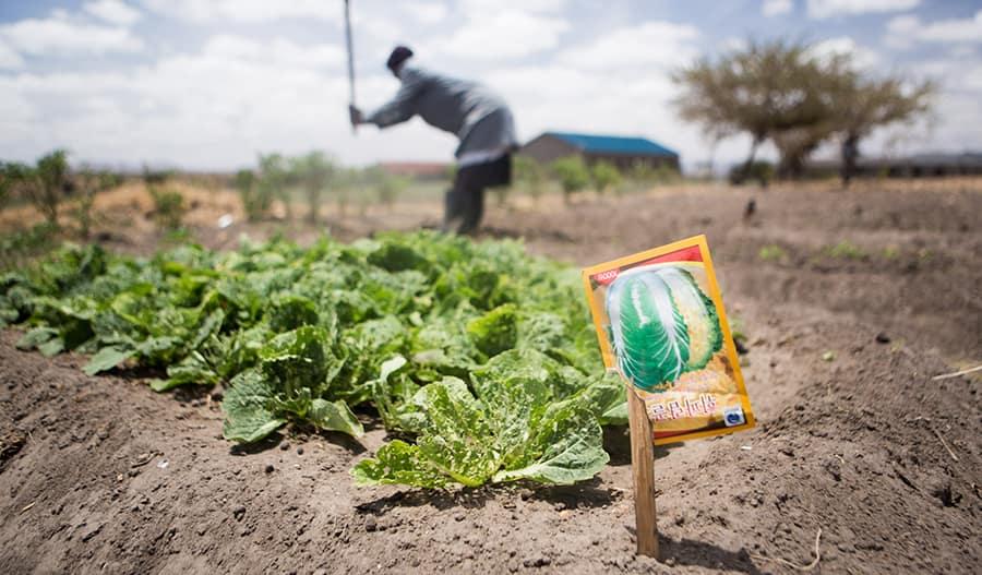 Kuva kasvimaalta, jossa kasvaa salaattia. Taustalla henkilö tekee töitään.