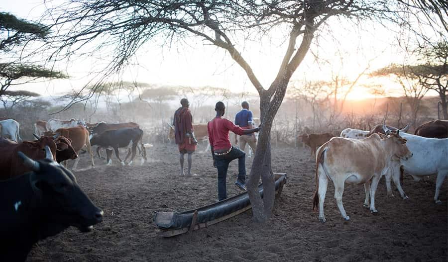 Paimentolaisia, heidän ympärillään lehmiä.